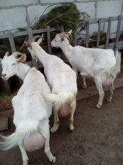 Продам коз,  козлят,  75% зааненскую козочку
