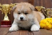 Японская акита-ину щенки.