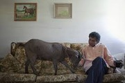 Коза карликовая